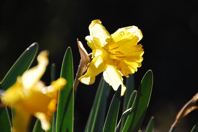 flor pasklilja