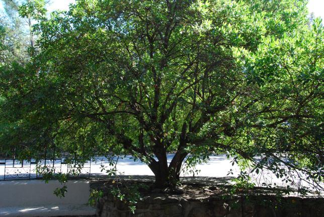 Madroño arbol