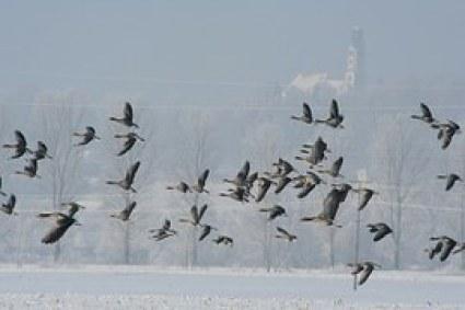 nieve gansos